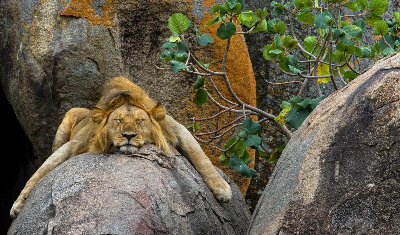 lion, zhivotnye, львы, кошки,