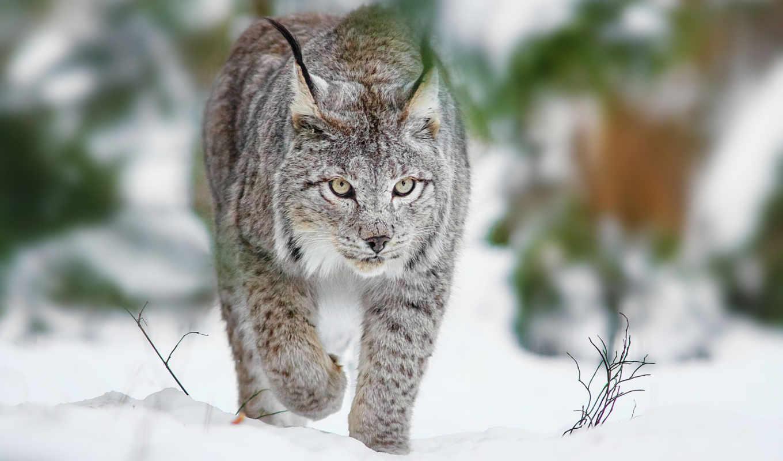 рысь, кот, winter, хищник,