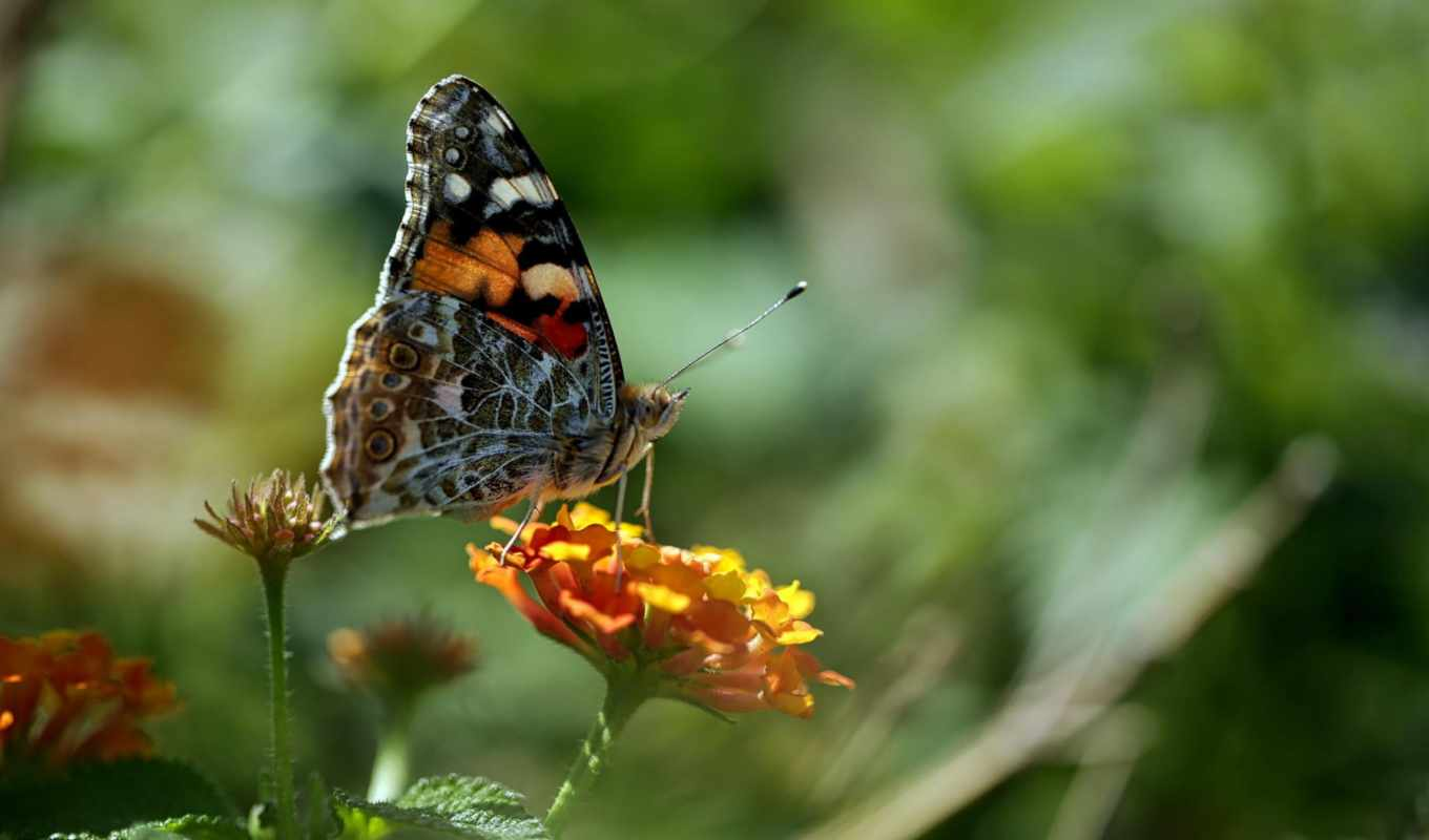 flower, insect, butterfly, macro,