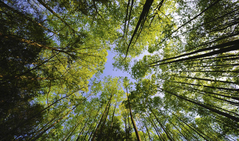 деревьев, лесу, деревья, лес, верхушки, где, леса, небо, even,