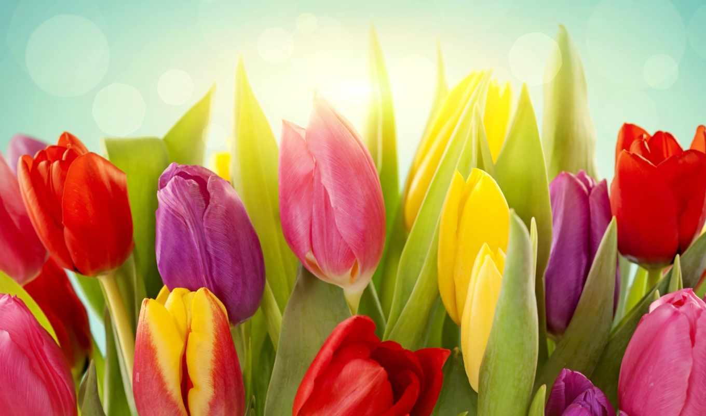 тюльпаны, цветы, желтые,