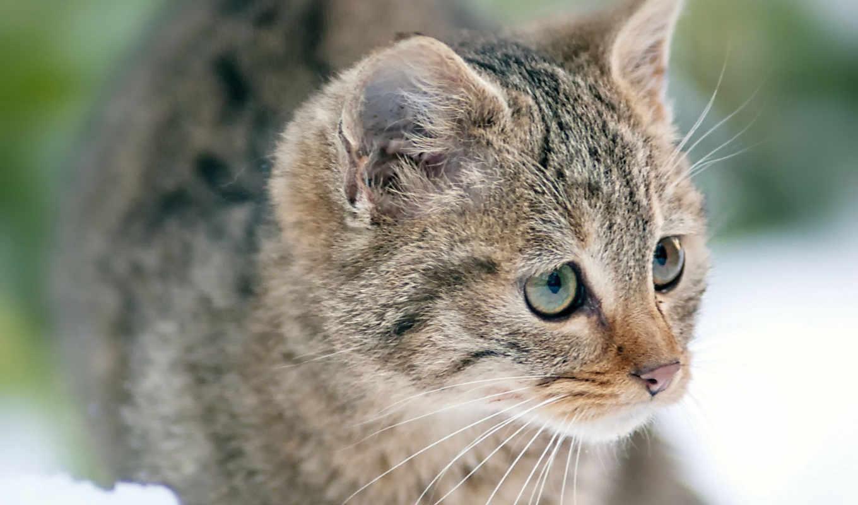серый, полоску, котенок, снег, кот, трава, спит,