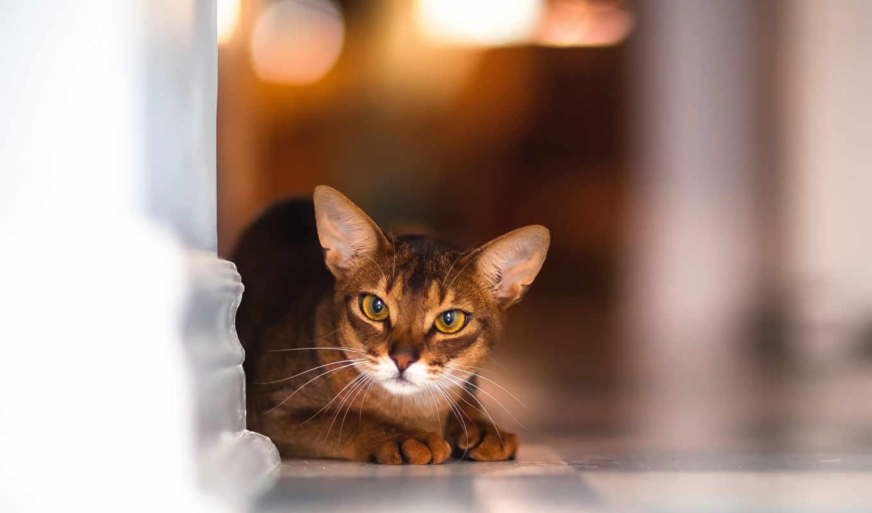 кот, красивая, высоком, кошки, порода, кошек, абиссинская,