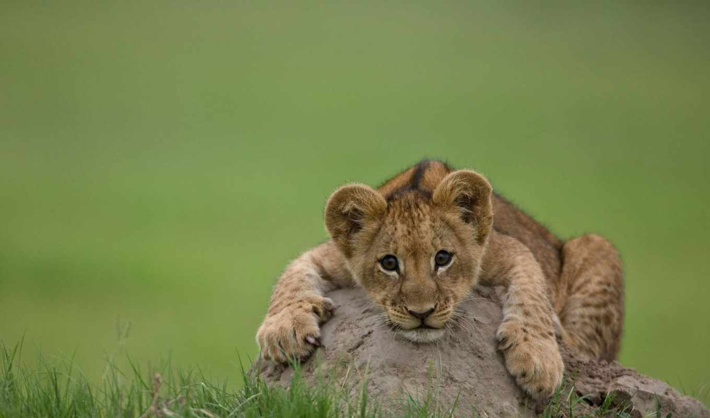 львенок, lion, хищник, кот, zhivotnye, камень, львенка, черепаха, морда,