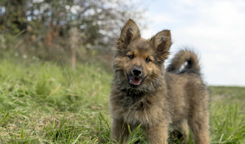овчарка, сабока, щенок, милый, трава,