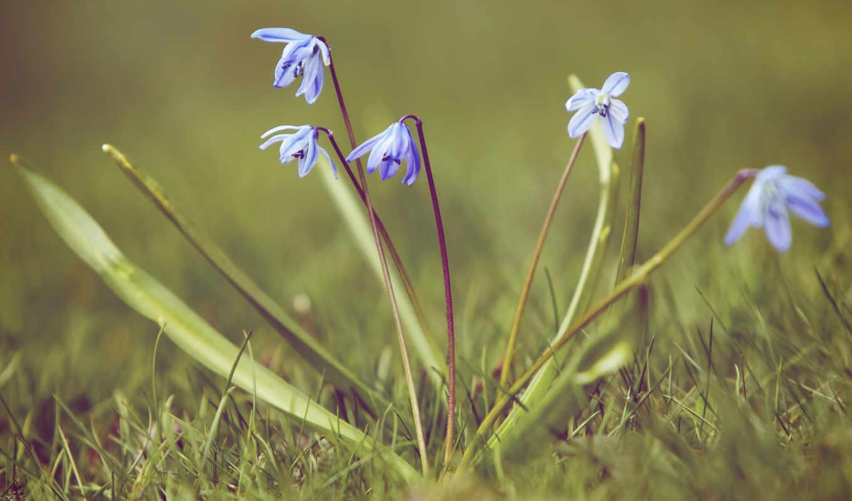 первоцвет, пролески, подснежник, трава, синий, vesna, качестве, базе,