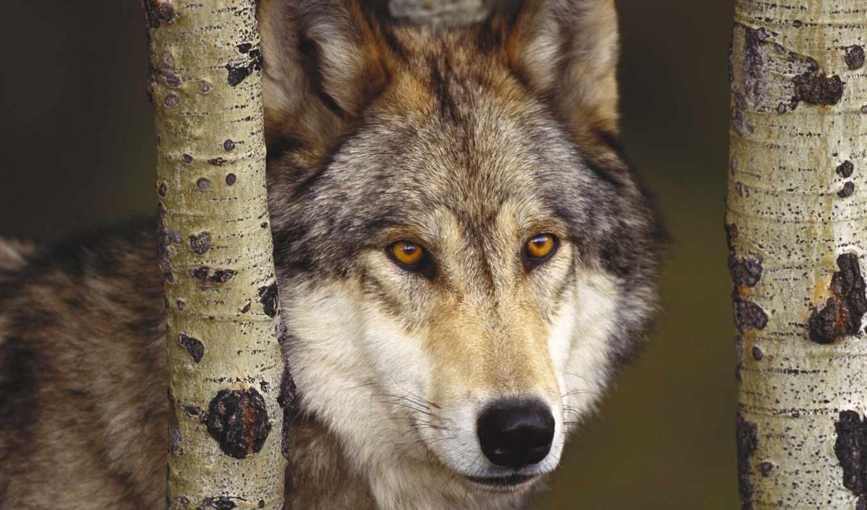 волк, волки, серый,