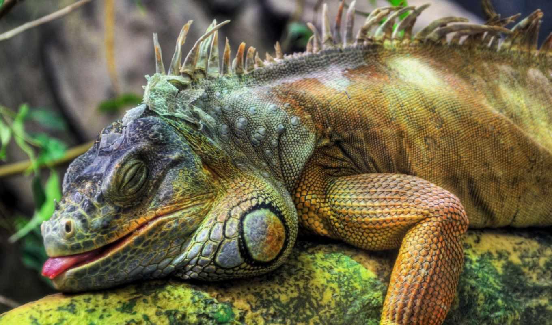 iguana, игуаны, reptile, дек,
