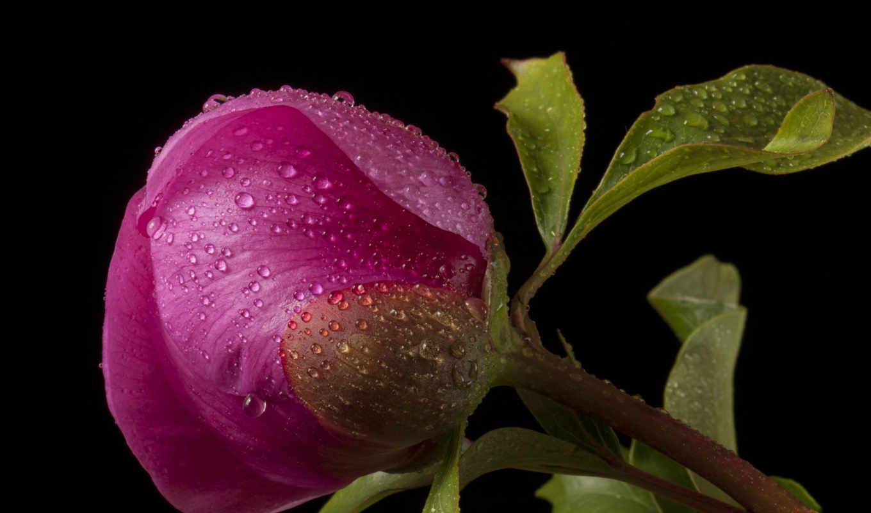 пионы, розовый, цветы, темный, бутон, капли,