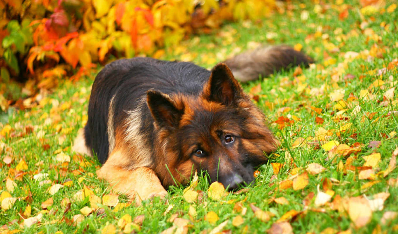 немецкая, овчарка, собак, порода, собаки,