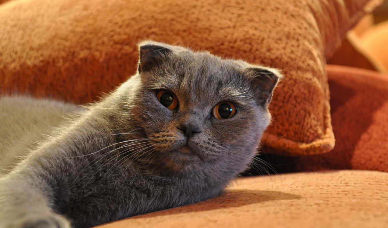 ,кот,диван, морда, серый кот,