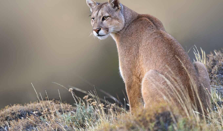 puma, рысь, cougar