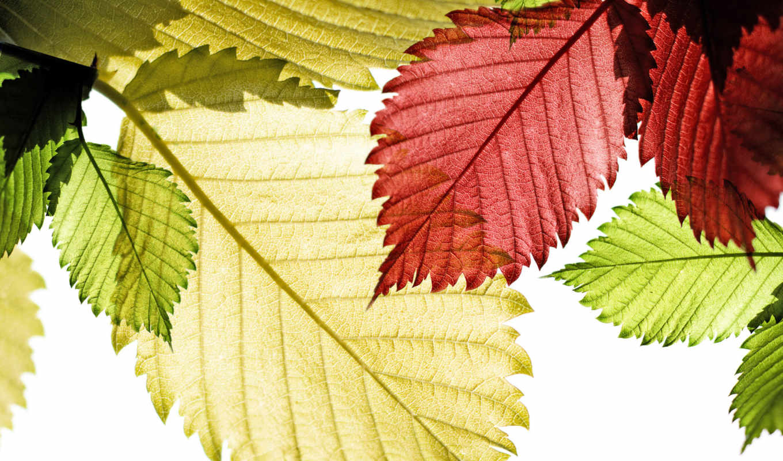 макро, листья, свет, осень, солнце, красные, природа,