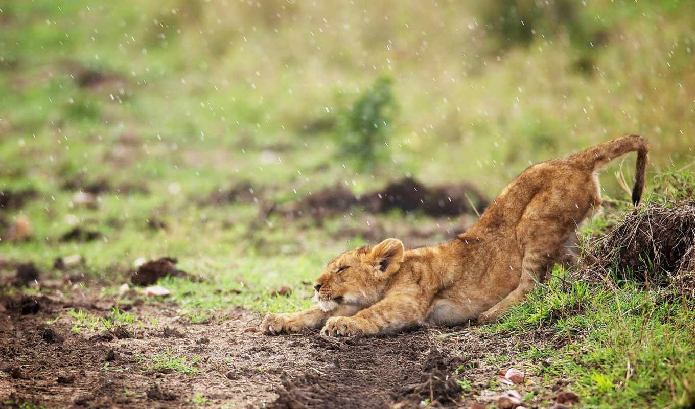 тигр, дорога, трава, дождь,