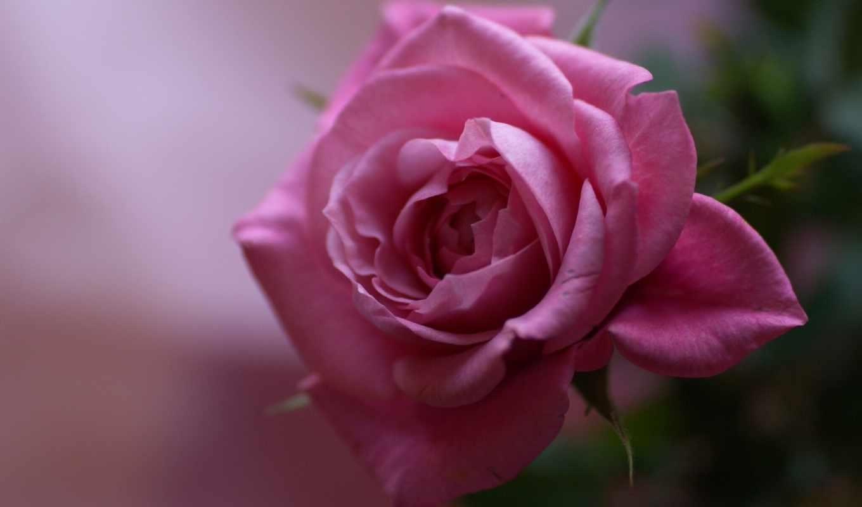 алая, роза, цветы, бутон,