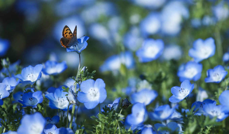 цветы, голубые, лепестки, немофила, поле, бабочка,