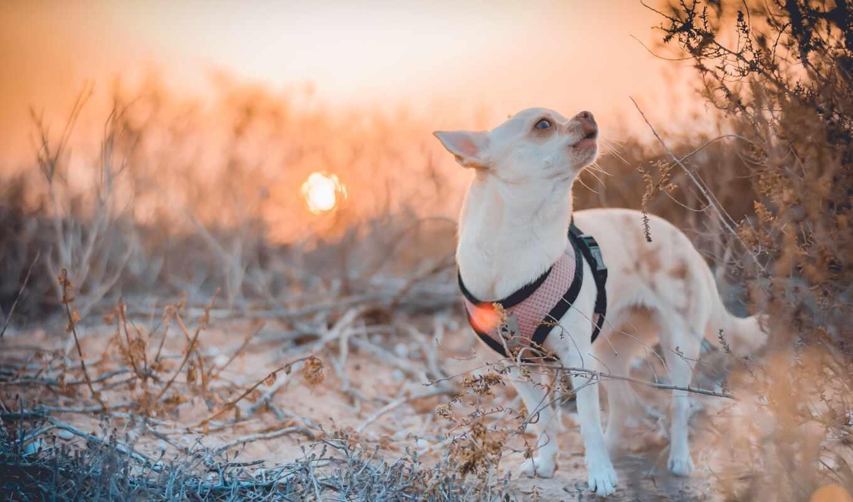 чихуахуа, собака, baby, свет, sun, закат, глаза, смотреть