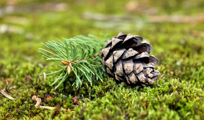ветка, зелёный, лесной, мох, сосна, шишка, картинка, картинку,
