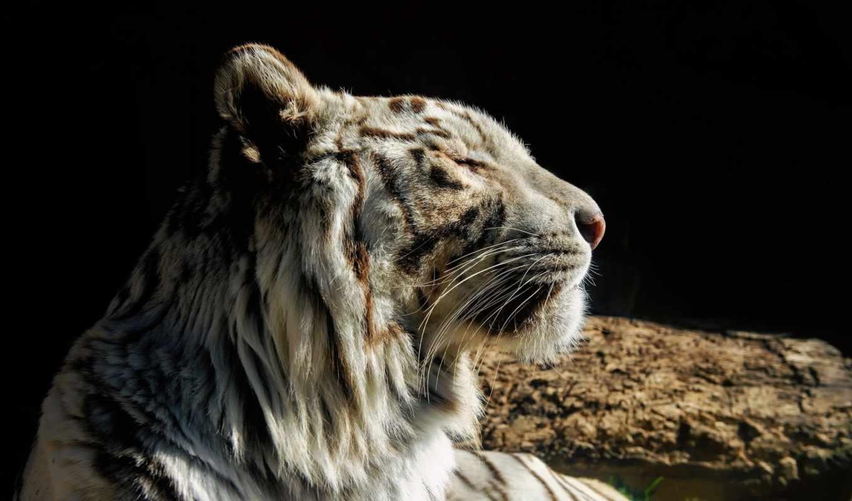 тигр, кот, дикая, white, морда, хищник,
