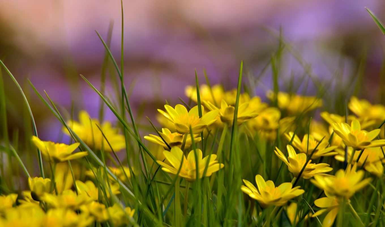 цветы, желтые, высоком, трава,