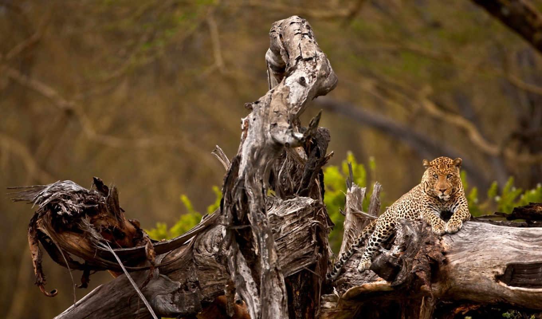 февр, животные, большие, кошки, crazy, морда, леопарды, red, кот,