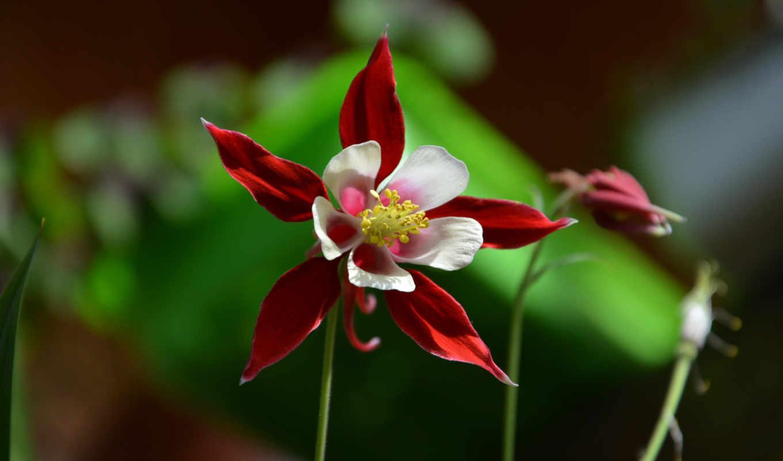 цветы, red, iphone, columbine,