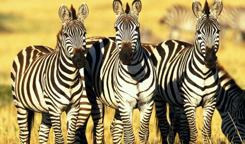 зебры, zebra, саванне,