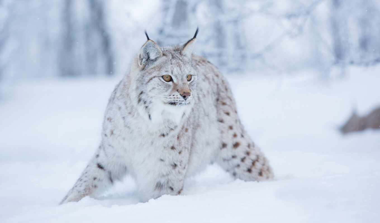 снег, кот, wild, winter, рысь, день