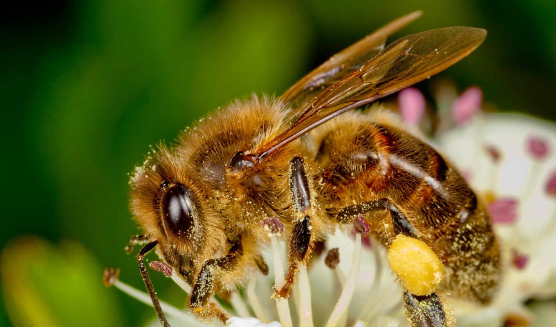 пчелка, albo, nie, let, макро, франция, canon, projektu, christophe,