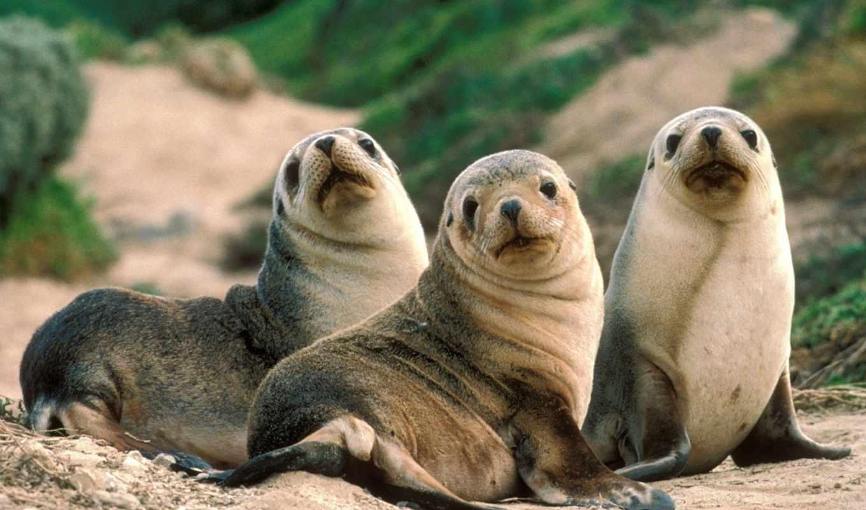 seals, морские,