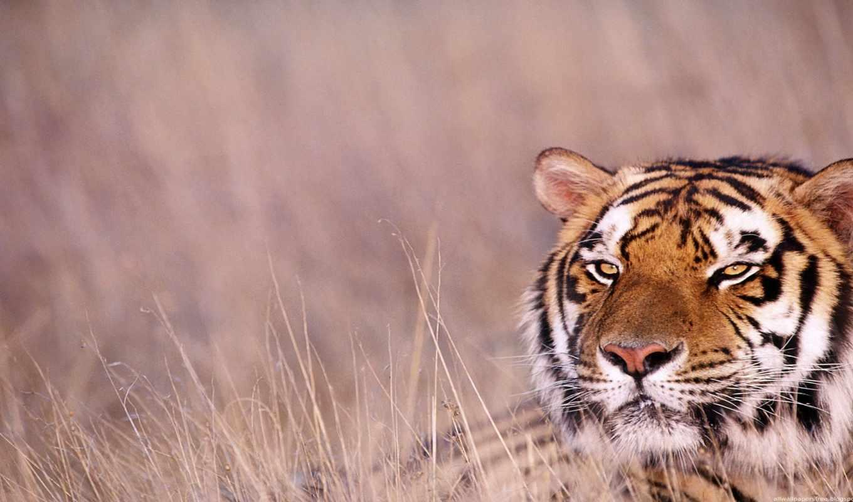 twitter, share, animal, тигр, mac, facebook, pinterest,