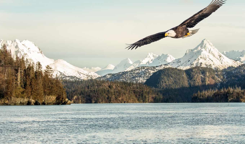 flickr, аляска, photos, белоголовый, flying, орлан, со, лысый, заливом, picssr,