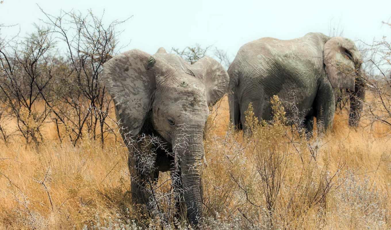 африка, природа, слоны, слон, objets,