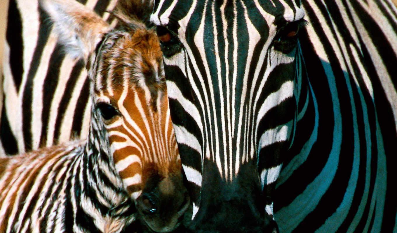 cebras, fotos, rub, imágenes, зебры, fondos, pantalla, galería, пульт, las,