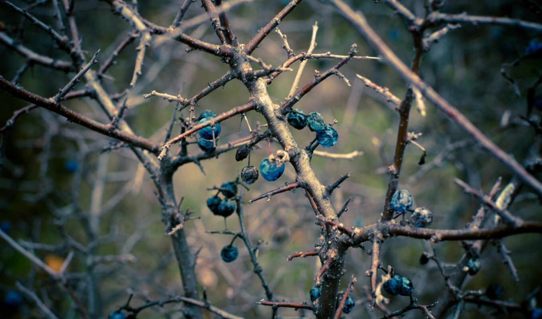 осень, branch, sloe, terna