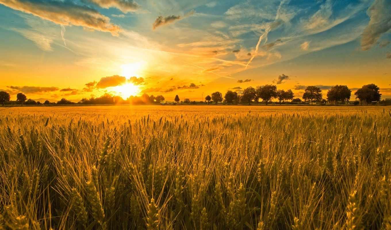 поле, колосья, закат, небо, облака, деревья, русское, пшеничное, природа, картинка, рожь,