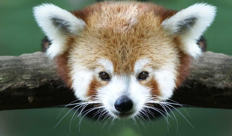 панда, красная, малая, взгляд, branch, кот, спать,
