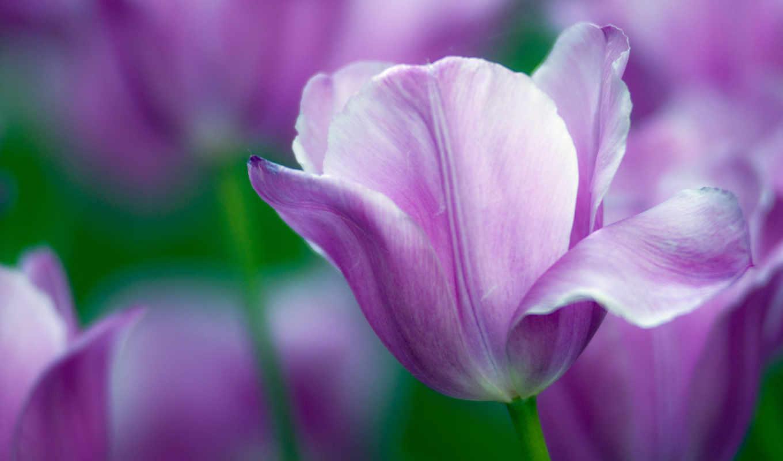 тюльпаны, тюльпан, море, цветы, поле, one, розмытость,