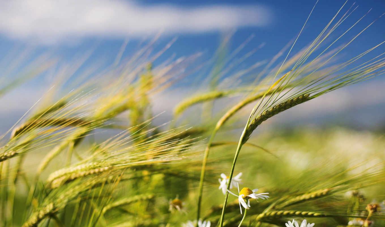 поле, ромашки, summer, ветер, колоски,