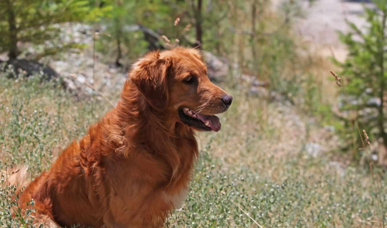 you, собака, золотистый, связь, порода, animal, природе, retriever, исцеление,
