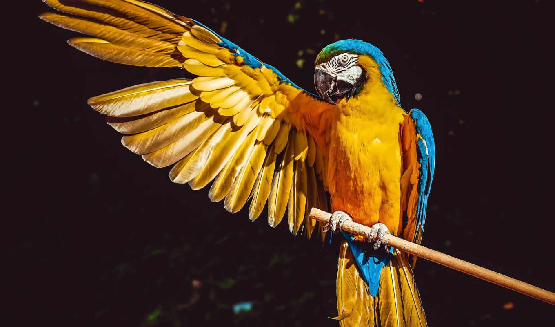 ,, птица, клюв, Ара, крыло, попугай, перо, волнистый попугайчик, Икитос,