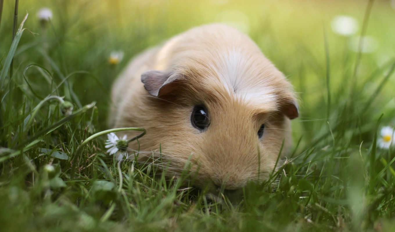 морская, свинка, животное, животные, трава,