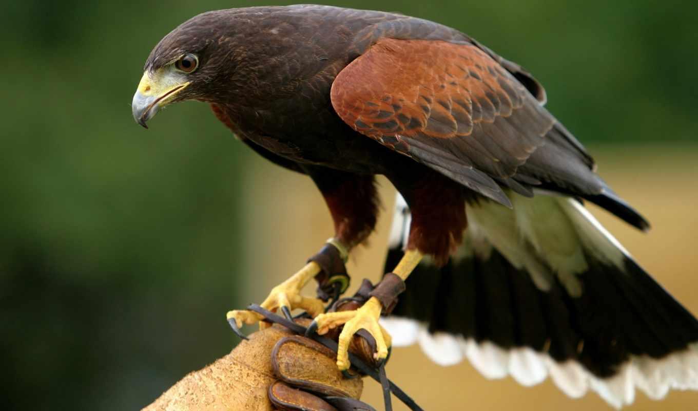 высокой, четкости, сокола, сокол, птица, февр, kot, орел,