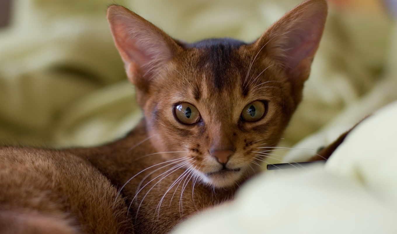 кошка, абиссинская, кошек, ее, порода,
