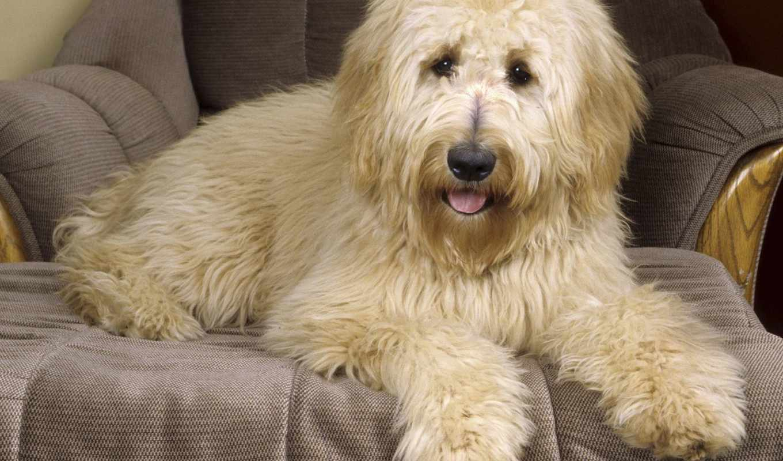 голдендудль, породы, собака, shaggy, goldendoodle, лежит, кресле, stepup,