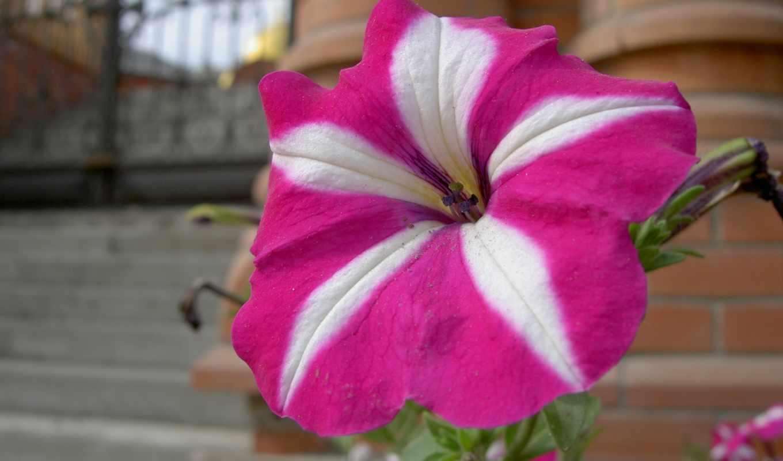 цветы, природа, wallpaper, красивые, petunia, için, балла, просмотров, mükemmel, download,