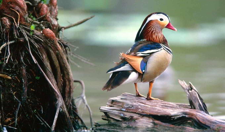 мандаринка, утка, красивая, самая, их, мандаринками, за, яркое, земле, кажется, китае,