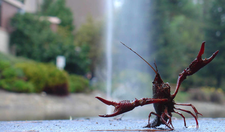 рак, animals, раков, dibby, lobster, wallpaper, meme, берег, водопад, разведение, промышленное, roof, picdump, demotivators, crayfish, омар, suck, photos, bild, hd, that,