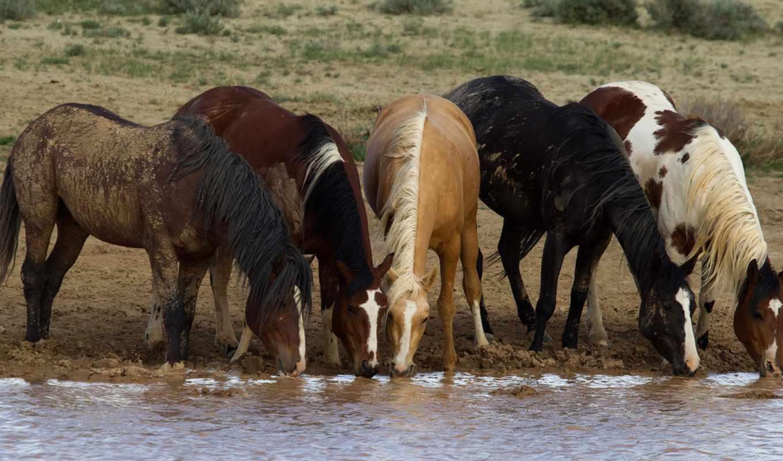 konie, piękne, rzeka, pulpit,