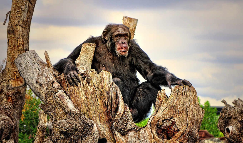 шимпанзе,